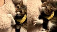 """猫咪""""蹂躏""""美女胸部"""