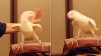 惊呆!这只超会跳舞的鹦鹉