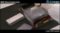 DNA Electrophoresis 电泳